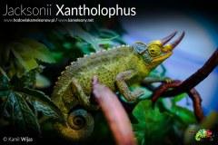 Kameleon Jacksonii Xantholophus Samiec