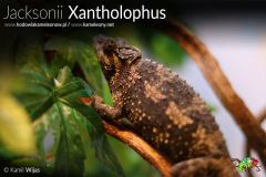 Kameleon Jacksonii Xantholophus Samica