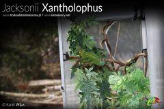 Terrarium dorosłego kameleona Jacksonii Xantholophus