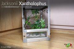 Terrarium małego kameleona Jacksonii Xantholophus