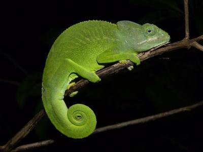 Furcifer Major