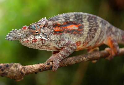 Furcifer Minor