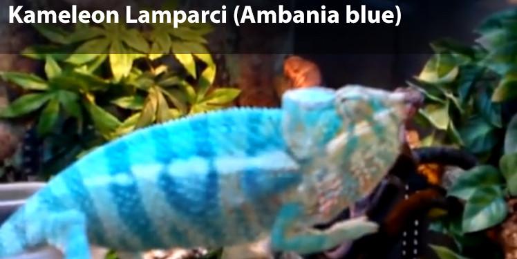 Kameleon Lamparci (Ambania blue)