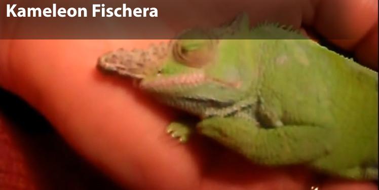 kameleon fischera