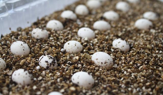 Inkubacja jaj kameleona