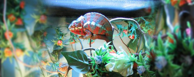 zmiana koloru u kameleona