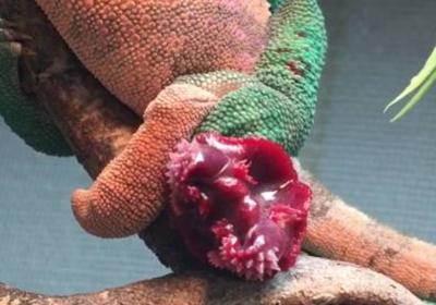 hemipenis u kameleona