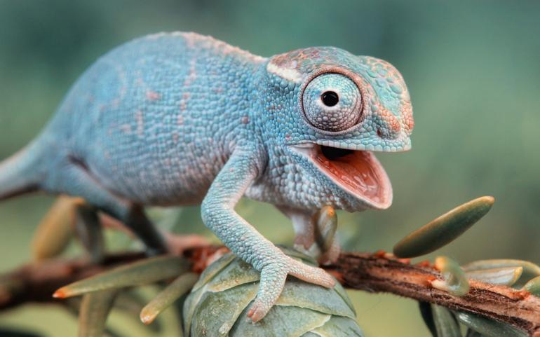 kameleon otwiera pyszczek