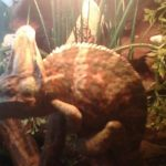 kameleon blisko lampy