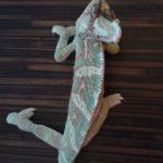 problemy z chodzeniem kameleona