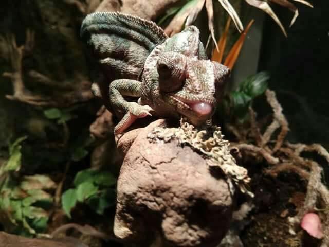 krzywica u kameleona