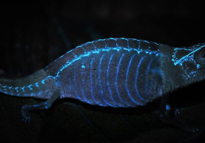 fluorescencja u kameleona
