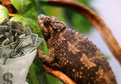 Ile kosztuje utrzymanie kameleona
