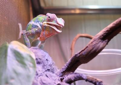 Najlepsze owady czyli podstawa diety u kameleona