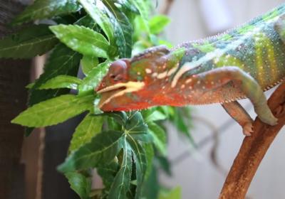 Skraplacz wody dla kameleona