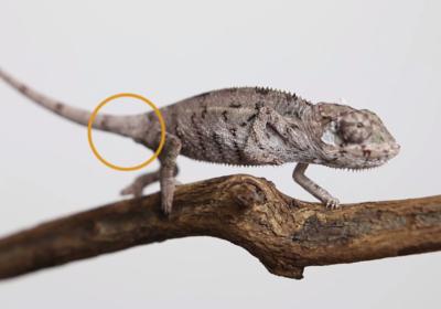 jak zweryfikować płeć u kameleonów