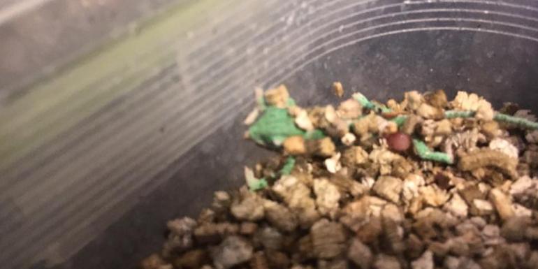kameleon jemeński wykluty z jajka