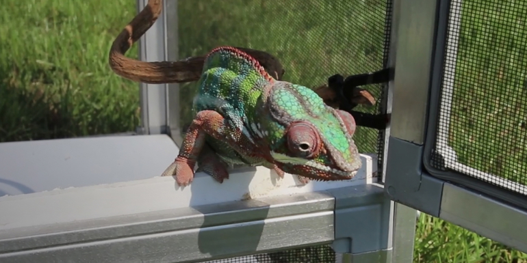 kameleon na dworze