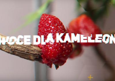 owoce dla kameleona
