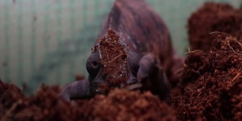 składanie jaj przez samiczkę