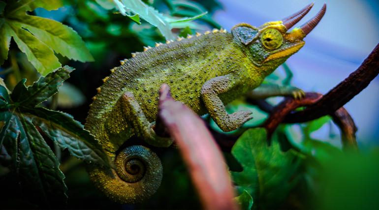 kameleon-jacksonii-xantholophus