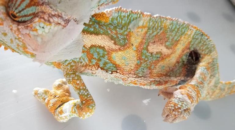 kameleon-pogryziony-przez-owady
